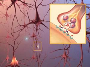 La chaîne des neurones dans le cerveau